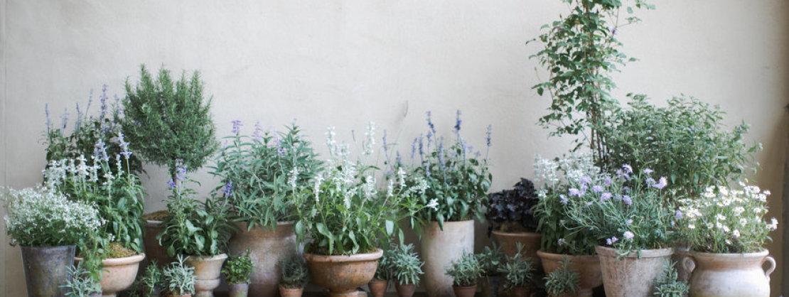 Top 5 Mediterranean Plants Nisi Living